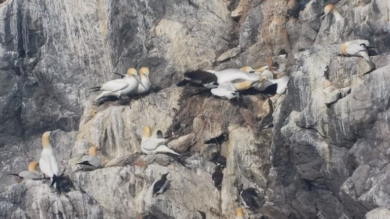 Alderney's Gannets dying after being tangled in plastic