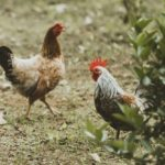 'Nuisance' Feral Chickens Culled
